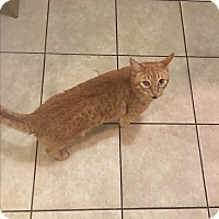 Domestic Mediumhair Cat for adoption in Culver City, California - Isosceles