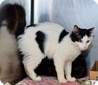 Domestic Mediumhair Cat for adoption in East Brunswick, New Jersey - Minnie