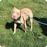 American Pit Bull Terrier Mix Dog for adoption in Beckley, West Virginia - Kitty