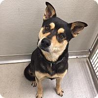 Adopt A Pet :: Buzz - Humble, TX
