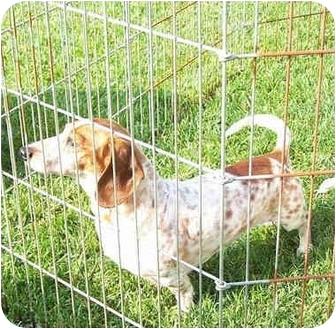 Dachshund Dog for adoption in Garden Grove, California - Charlie