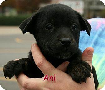 Terrier (Unknown Type, Medium)/Shepherd (Unknown Type) Mix Puppy for adoption in Danbury, Connecticut - Ani