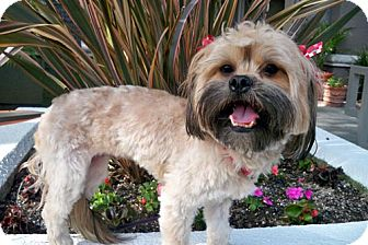 Lhasa Apso/Silky Terrier Mix Dog for adoption in Los Angeles, California - PIEPER