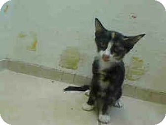 Domestic Shorthair Cat for adoption in New York, New York - Charlie
