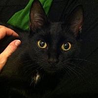 Domestic Shorthair Cat for adoption in Atlanta, Georgia - Master Wilubus141719