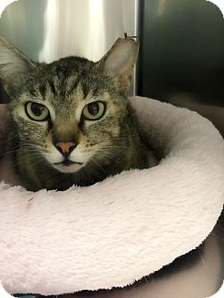Domestic Shorthair Cat for adoption in Los Angeles, California - Charlize