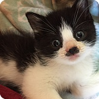Adopt A Pet :: Chaplin - Reston, VA