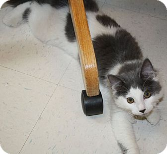 Domestic Mediumhair Kitten for adoption in Washburn, Wisconsin - Simply Irresistible
