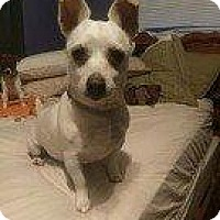 Chihuahua Mix Dog for adoption in Hampton, Virginia - Susie