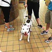 American Staffordshire Terrier/American Pit Bull Terrier Mix Dog for adoption in Dixon, Illinois - Coconut