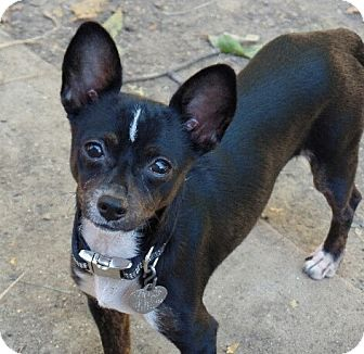 Chinese Crested/Chihuahua Mix Puppy for adoption in Great Falls, Virginia - Jack