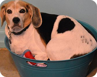 Beagle Dog for adoption in Prole, Iowa - Duke