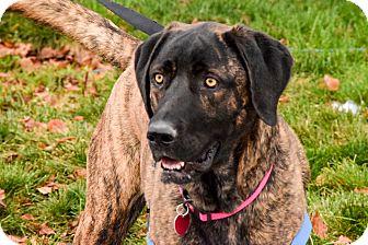 Great Dane/Plott Hound Mix Dog for adoption in Meridian, Idaho - Lucy