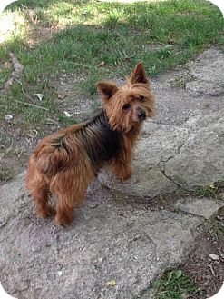 Yorkie, Yorkshire Terrier Dog for adoption in Westminster, Maryland - Lexie