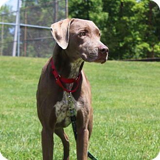 Weimaraner Mix Dog for adoption in Alexandria, Virginia - Laverna