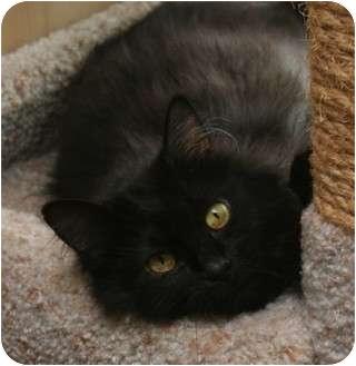 Domestic Longhair Cat for adoption in Cincinnati, Ohio - Natalia