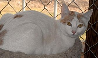 Domestic Shorthair Cat for adoption in Spring Lake, New Jersey - Jamie