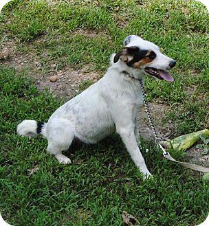 Australian Cattle Dog Mix Dog for adoption in Staunton, Virginia - Wilson