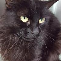 Domestic Mediumhair Cat for adoption in Auburn, California - Cora