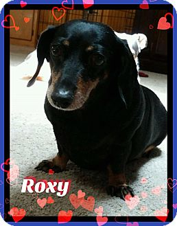 Dachshund Dog for adoption in Green Cove Springs, Florida - Roxy