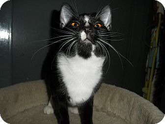 Domestic Shorthair Cat for adoption in Milwaukee, Wisconsin - Elora
