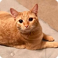 Domestic Shorthair Cat for adoption in Youngsville, North Carolina - Butterscotch