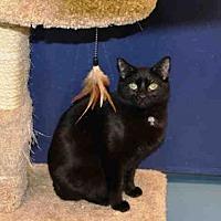 Domestic Mediumhair Cat for adoption in Hampton Bays, New York - ARWEN