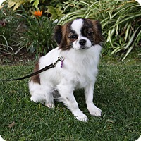 Adopt A Pet :: WICKET - Newport Beach, CA