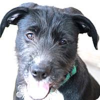 Adopt A Pet :: Bo - MEET ME - Bedminster, NJ