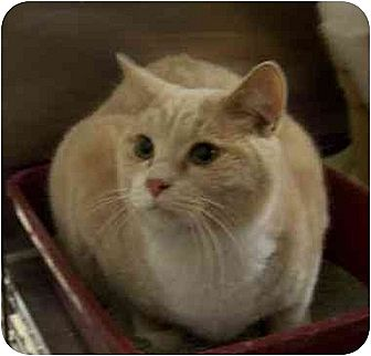 Domestic Shorthair Cat for adoption in Stuarts Draft, Virginia - Oscar