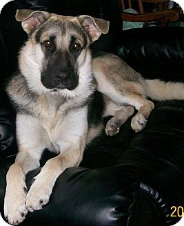 German Shepherd Dog/Husky Mix Dog for adoption in Huntsville, Ontario - Coady - ADOPTED MAY 2013