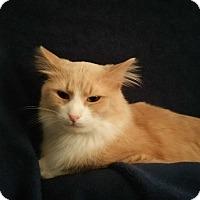Adopt A Pet :: Asia -laid-back lapsitter - Arlington, VA