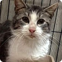 Adopt A Pet :: Greystoke - Porter, TX