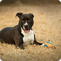 American Pit Bull Terrier/Terrier (Unknown Type, Small) Mix Dog for adoption in Princeton, North Carolina - Sylvia