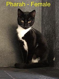 Domestic Shorthair Cat for adoption in Waycross, Georgia - FC 53/Pharah