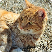 American Shorthair Cat for adoption in Justin, Texas - Coco