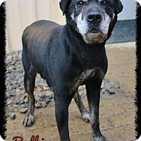 Shar Pei/Labrador Retriever Mix Dog for adoption in Shippenville, Pennsylvania - Bodhi