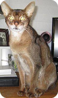 Abyssinian Cat for adoption in Davis, California - Sir Tut