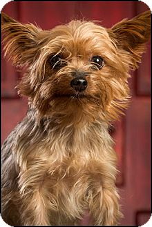 Yorkie, Yorkshire Terrier Dog for adoption in Owensboro, Kentucky - Libby