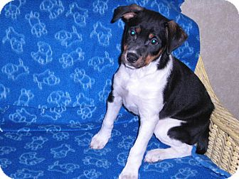 Jack Russell Terrier/Rottweiler Mix Puppy for adoption in New Castle, Pennsylvania - Benny