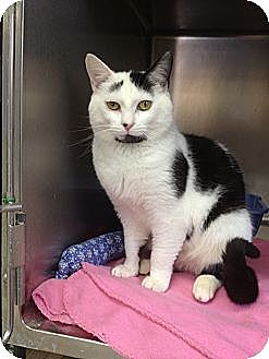 Domestic Shorthair Cat for adoption in Elkins, West Virginia - Levi