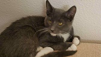 American Shorthair Cat for adoption in Nuevo, California - Willie