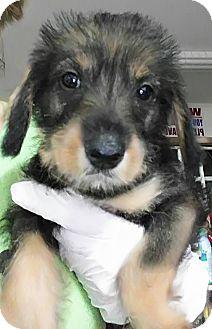 Brussels Griffon Mix Puppy for adoption in Jarrell, Texas - Samantha