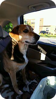 Beagle/Labrador Retriever Mix Dog for adoption in Norfolk, Virginia - Rosie