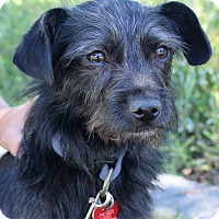 Terrier (Unknown Type, Small) Mix Dog for adoption in Oakley, California - Peete