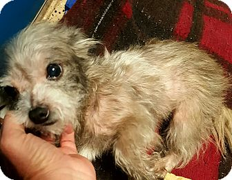 Yorkie, Yorkshire Terrier/Chihuahua Mix Dog for adoption in Mary Esther, Florida - Jerry