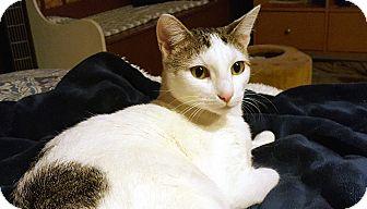 Domestic Shorthair Cat for adoption in Little Falls, New Jersey - Loretta (JT)