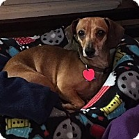Dachshund Dog for adoption in Pearland, Texas - Emily