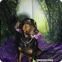 Adopt A Pet :: Janis - Houston, TX