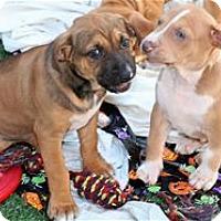 Adopt A Pet :: SLINKY--Katie Puppy - Pleasanton, CA